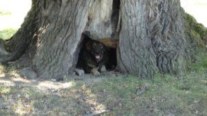 niche dans un chêne.