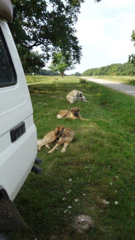 le matin au réveil les chiens de berger veillent.