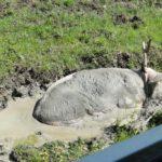 bain de boue...